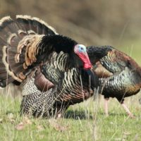5 Tips for Spring Hunting Wild Turkey