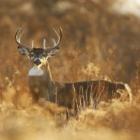 Best States for Whitetail Deer Hunting in USA